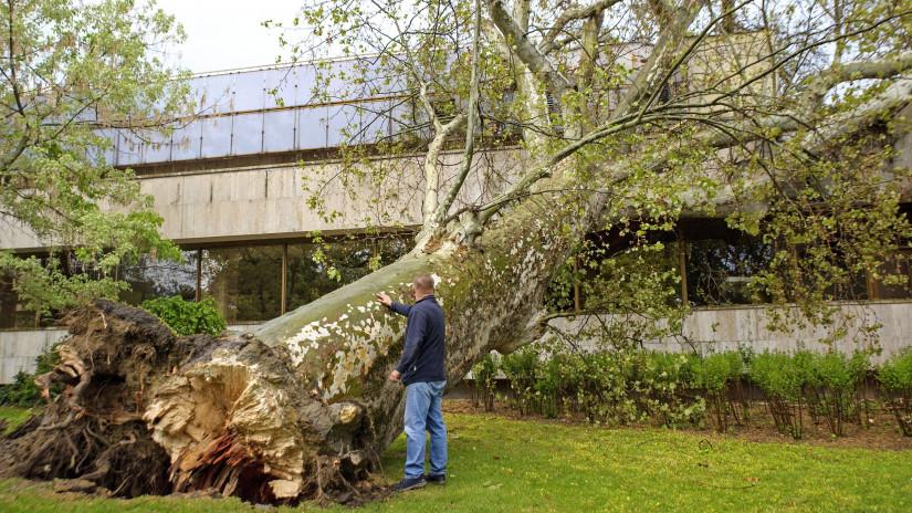 A viharban kidőlt, két méter törzsátmérőjû, harminc méter magas öreg platánfa a Margitszigeten 2021. május 5-én. MTI/Lakatos Péter