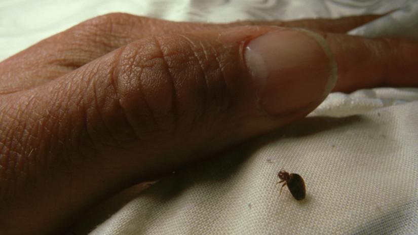 Az ágyi poloska 5-7 mm nagyságúra nő
