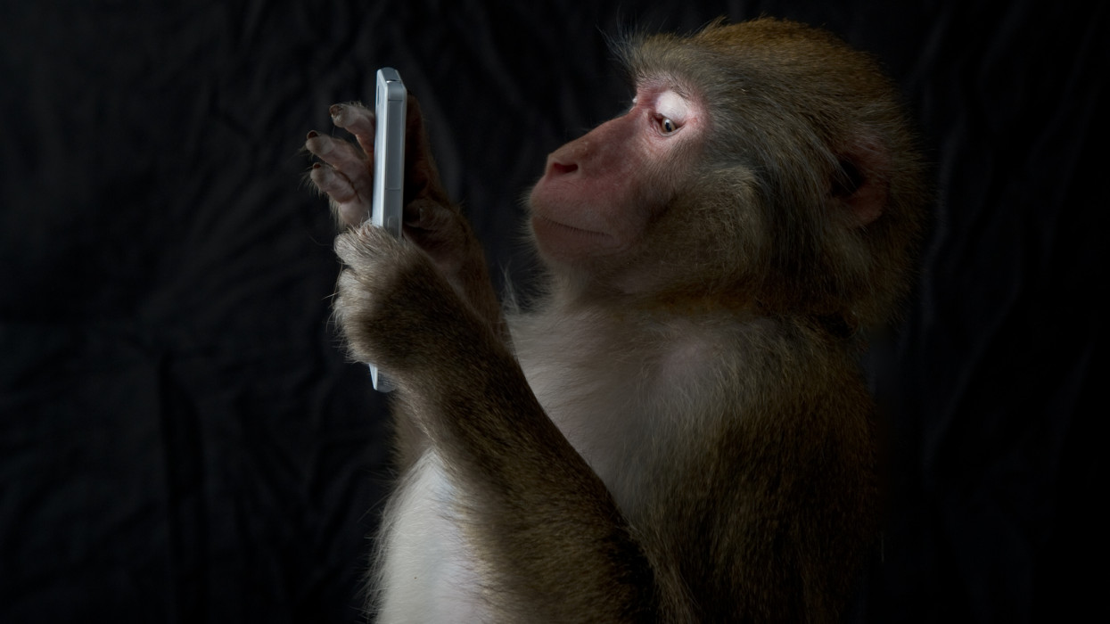 The portrait of the Japanese monkey that looked to have a smartphone. Black background