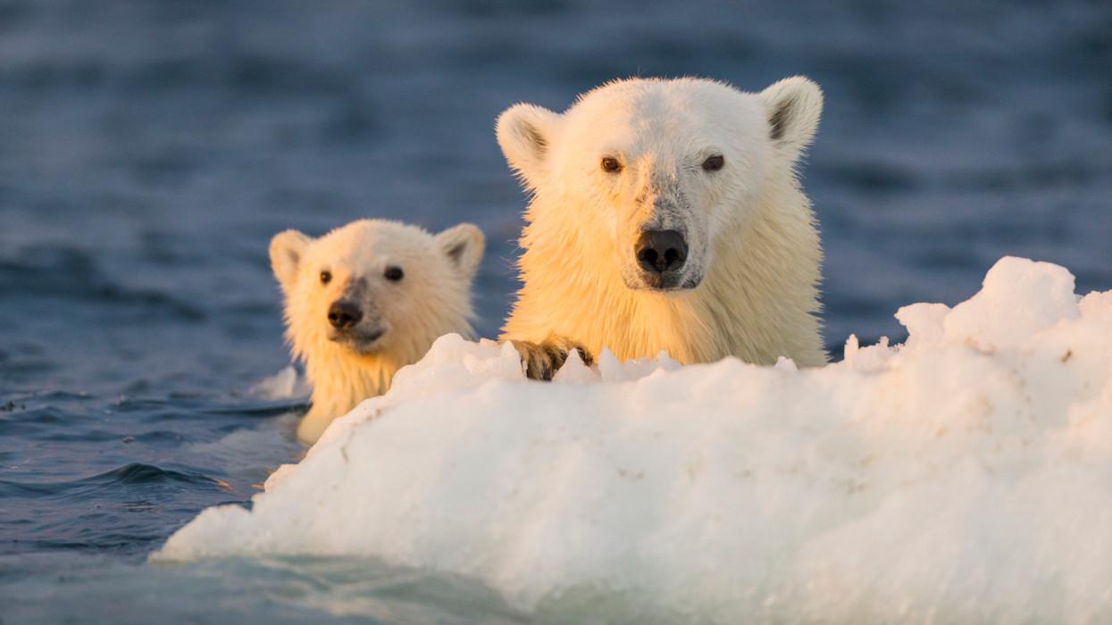 Canada, Nunavut Territory, Repulse Bay, Polar Bear and young cub (Ursus maritimus) floating clinging to iceberg near Harbour Islands at sunset