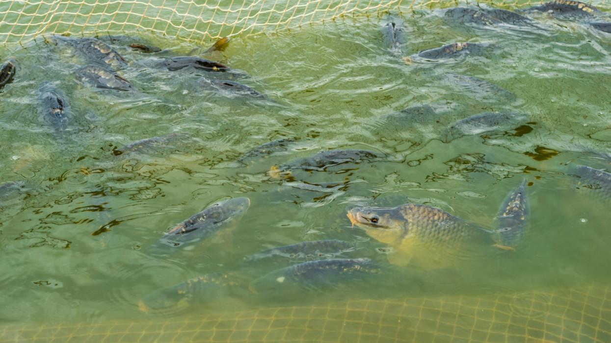 Pisciculture lagoon. Ponty, halfogyasztás