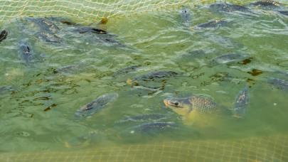 Több sebből vérzik a halpiac: hiába van elég itthon, mégis külföldit eszik a magyar