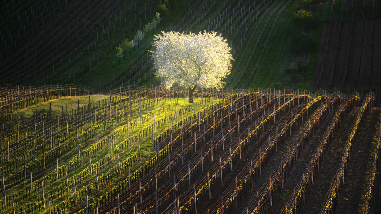 Spring morning landscape with a blossoming tree and rows of vineyards. Rows of vineyards on famous hills of South Moravia, Czech Republic. Blossoming cherry tree and vineyards