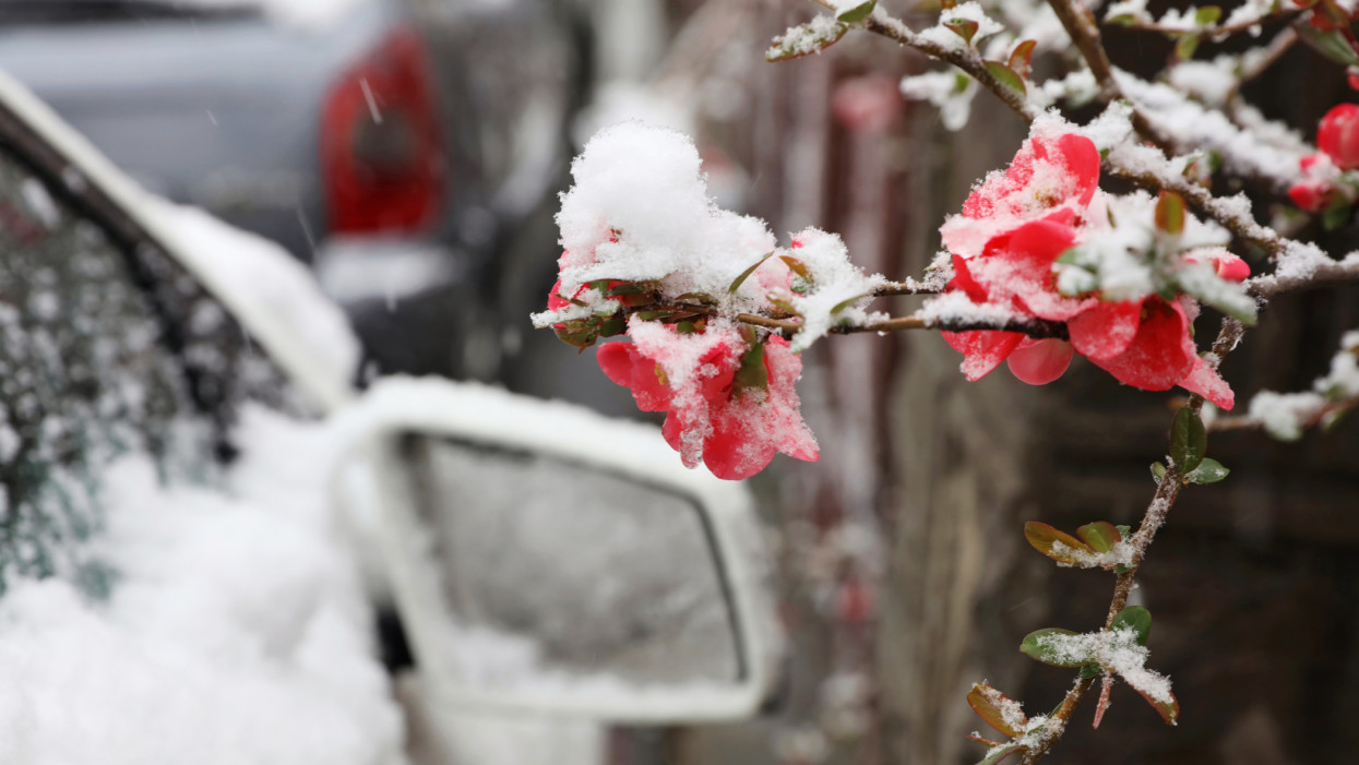 Early spring snowfall . Blooming trees covered with snow