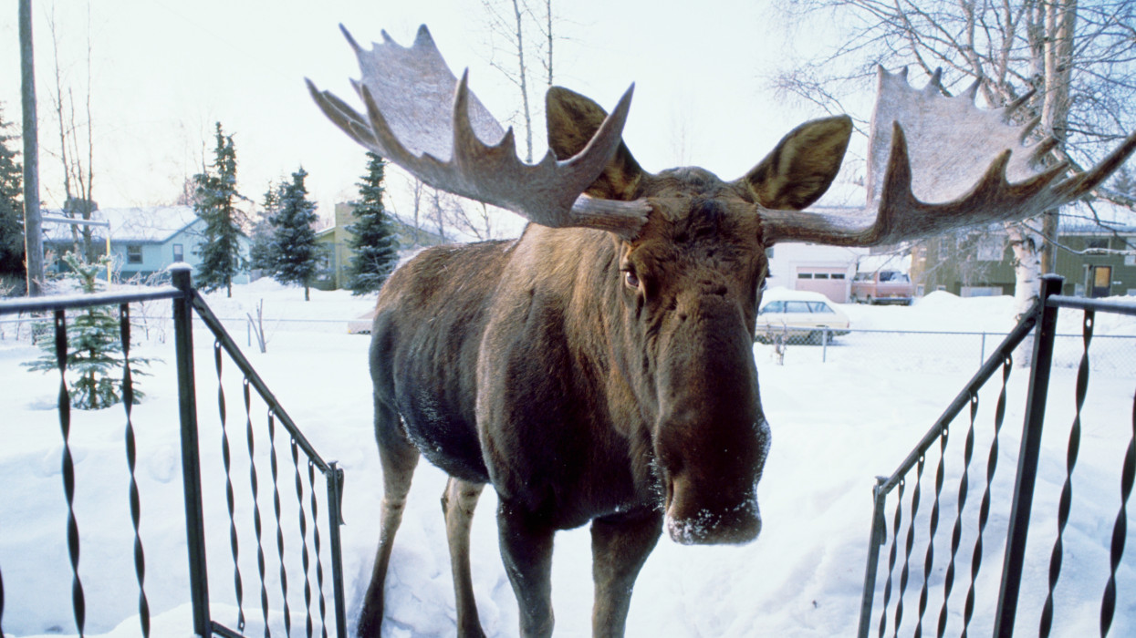 A bull moose stands at the porch steps of a home in downtown Anchorage.