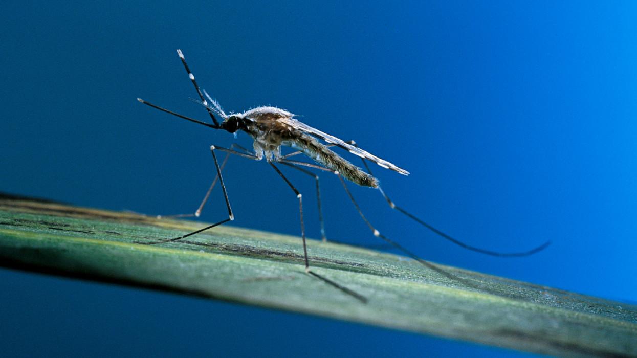 Culicidae. Vector of malaria