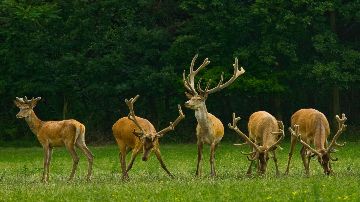 European deers in the Gerecse forest in Hungary