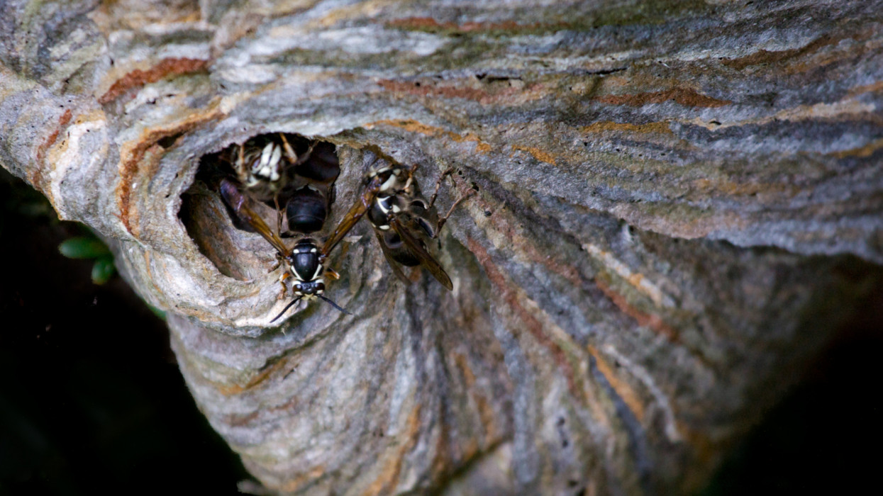 Wasps in a Wasp Nest in a Tree