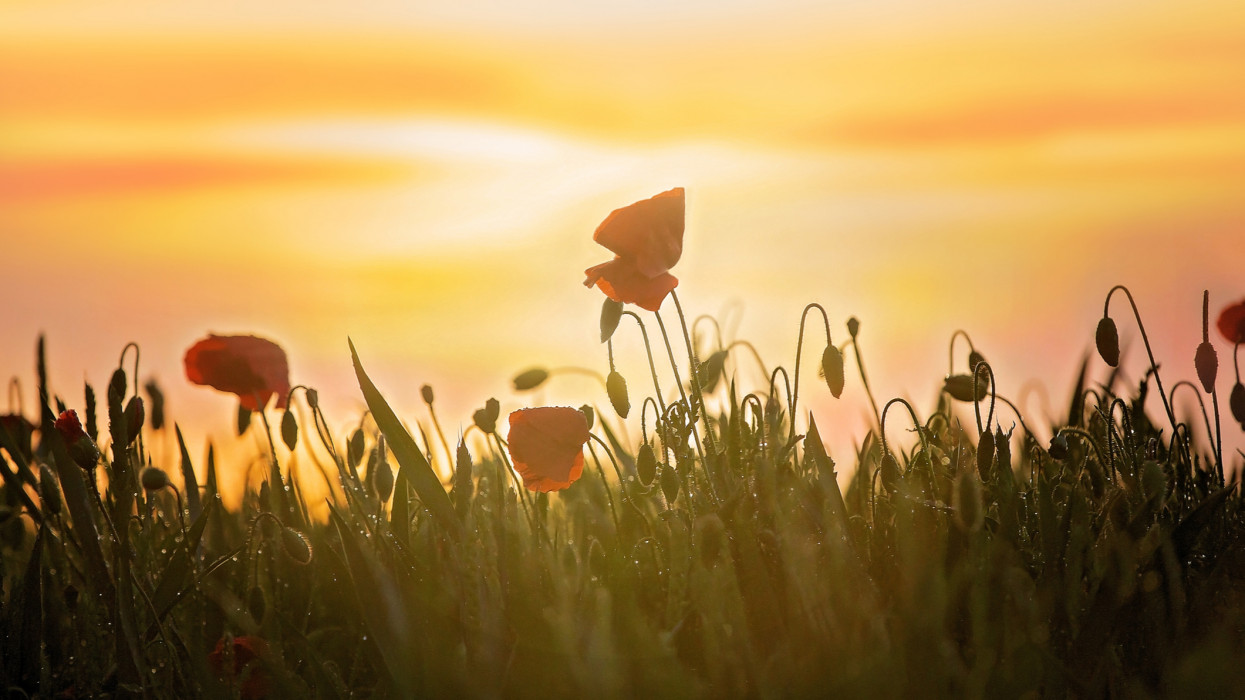 Poppy field on sunset, dramatic sky, fresh spring evening
