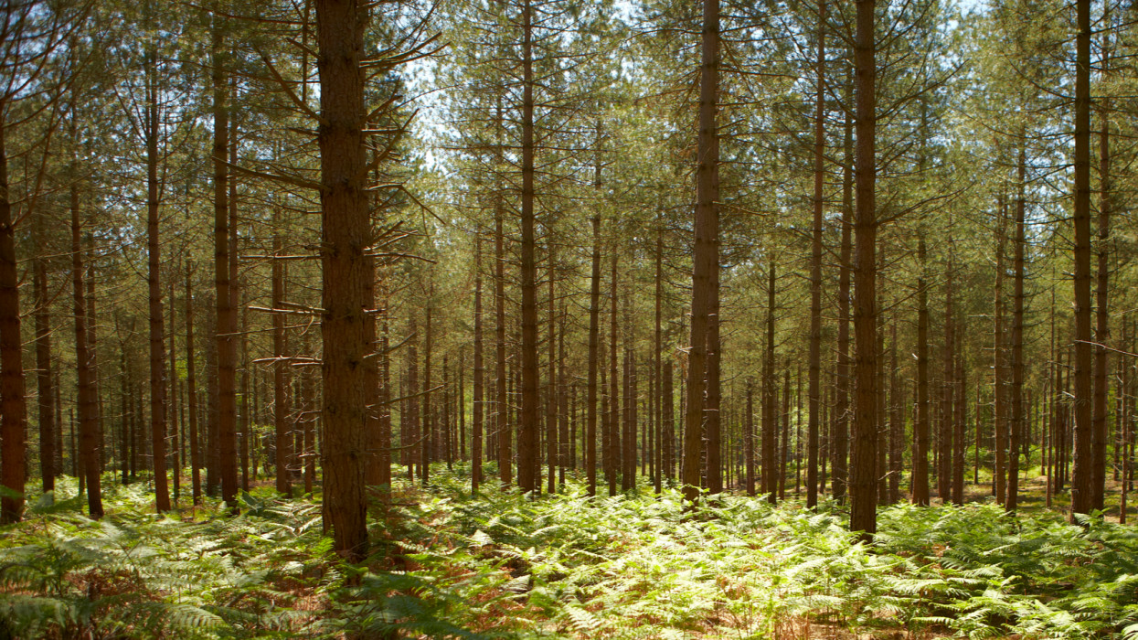 New Forest, Forest, Woods,  Pines