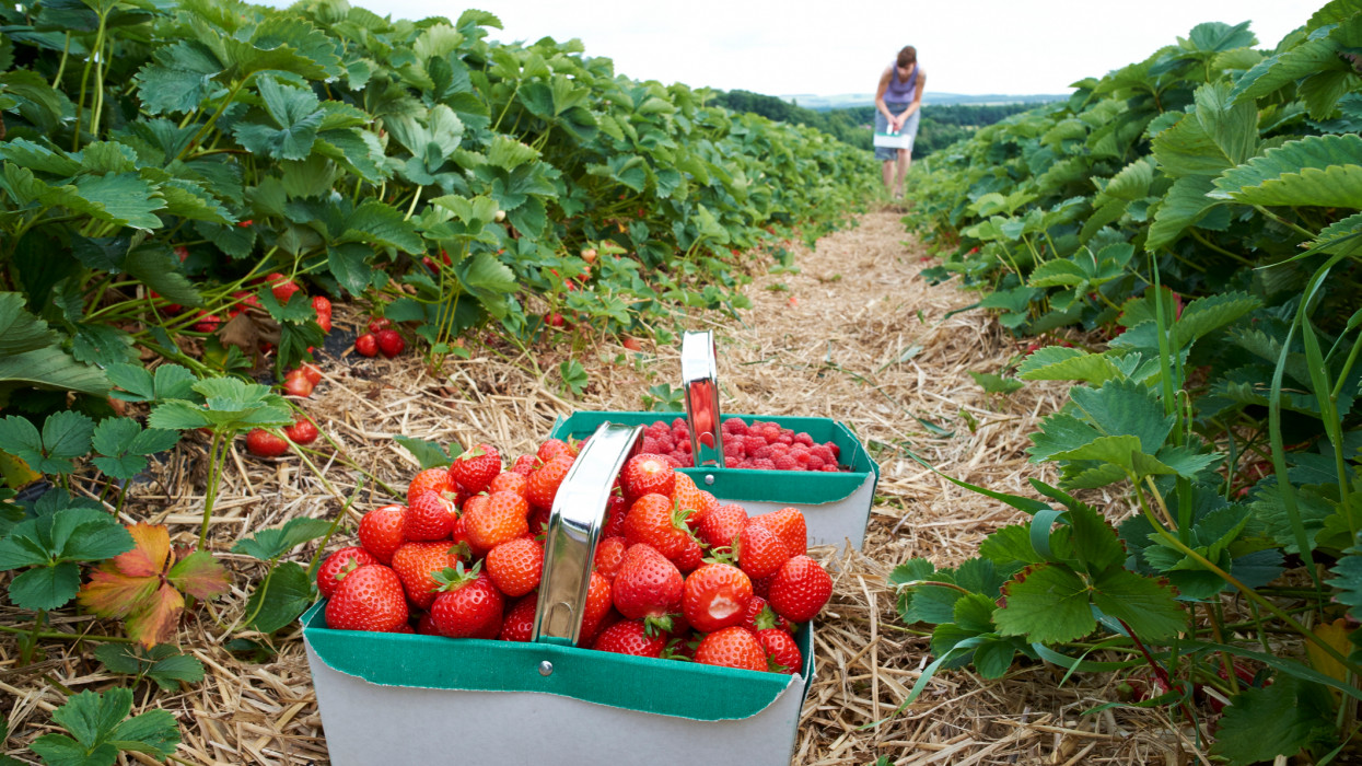 A woman picking ripe red strawberries at a fruit farm in the summer.