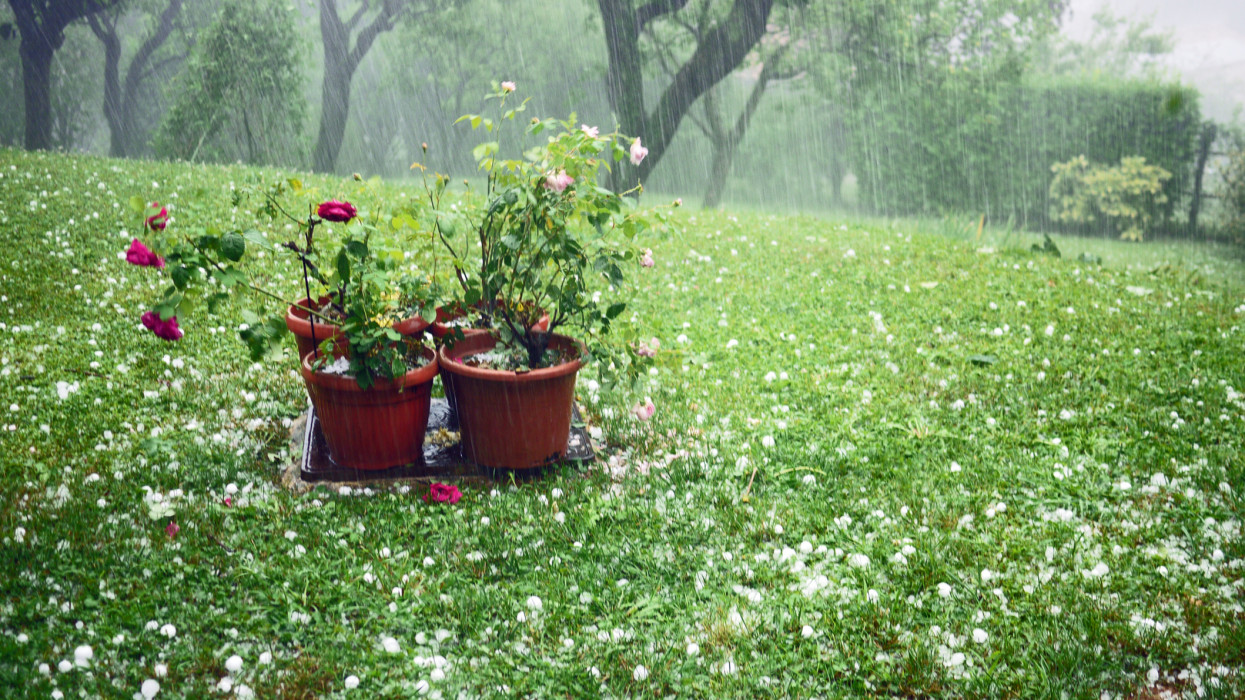 Pouring rain, meadow scattered with hail, damaged roses in flower pots. Italy during a strong summer storm.
