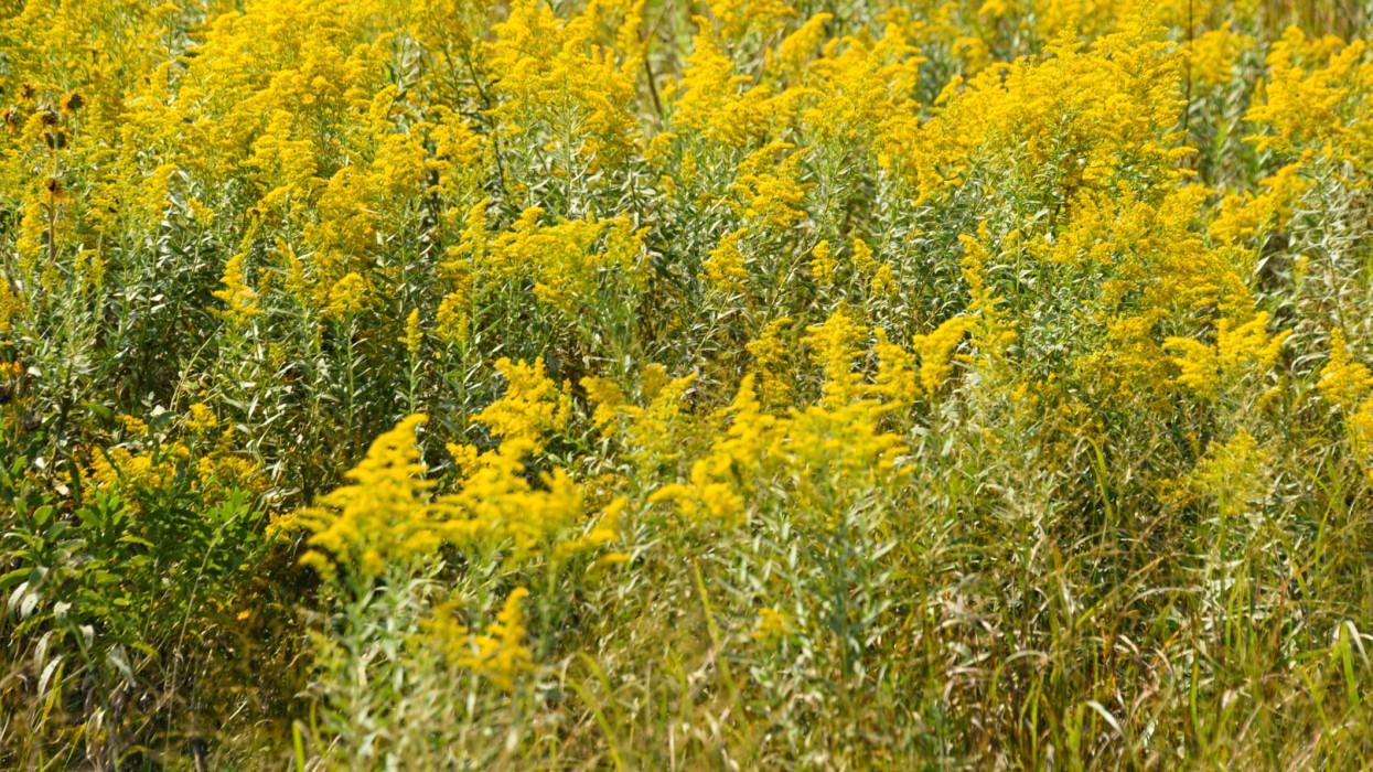 Parlagfű allergia, parlagfű bejelentés: Hogy néz ki a parlagfű, mikor virágzik a parlagfű?