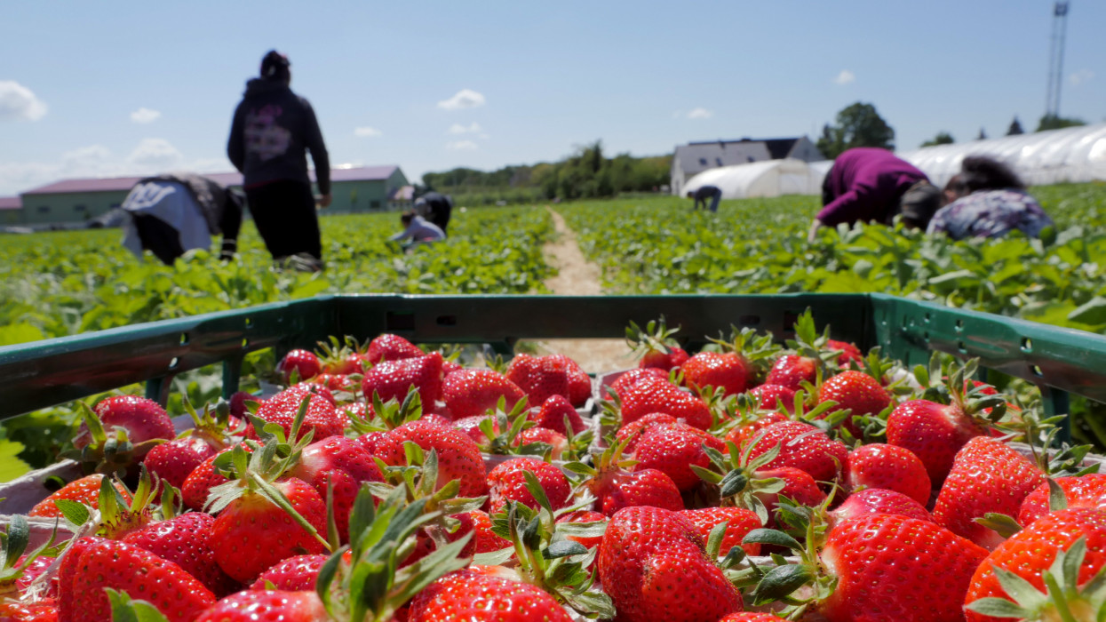 Out of focus workers harvesting strawberries in a plantation. Two thirds of the in focus foreground is covered by a crate full of freshly harvested, juicy ripe strawberries, close view, Mainz, May 2019