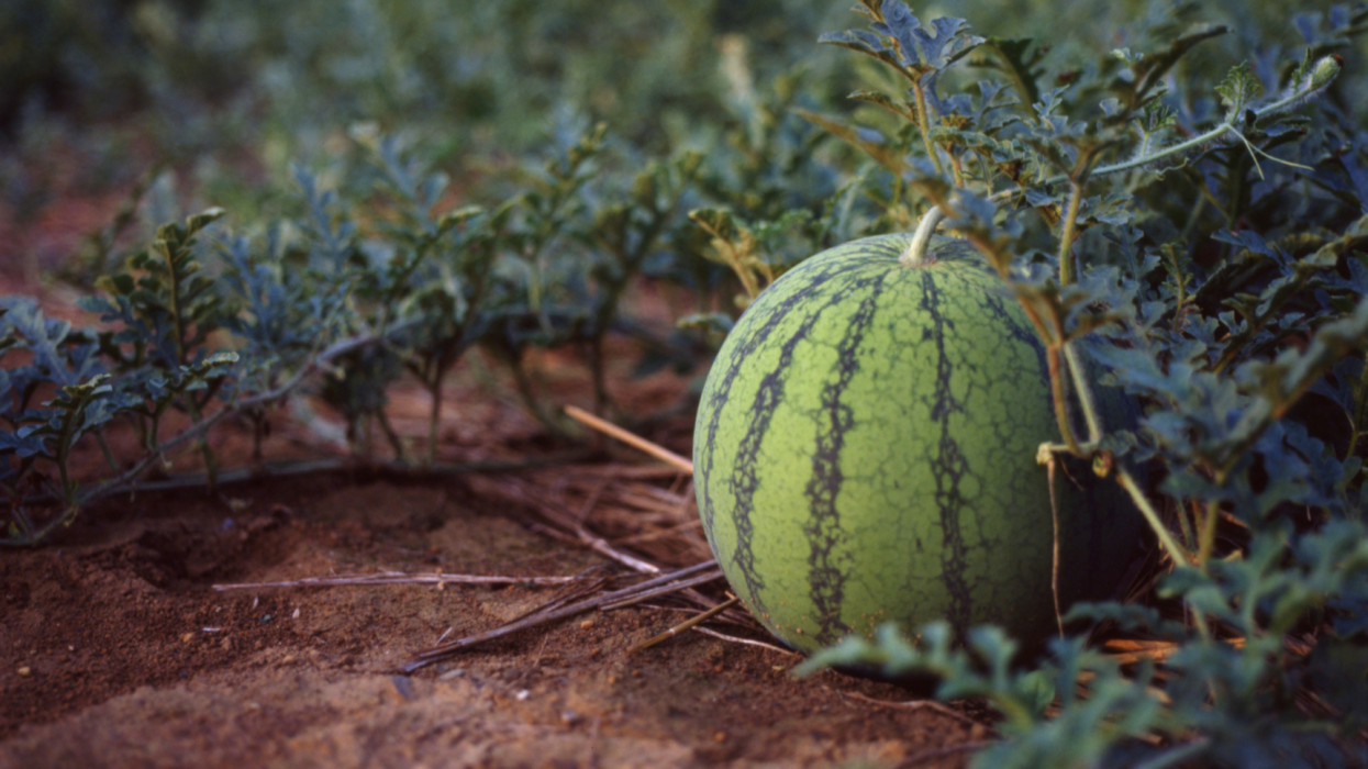 Watermelon in a field at evening time. summer time.