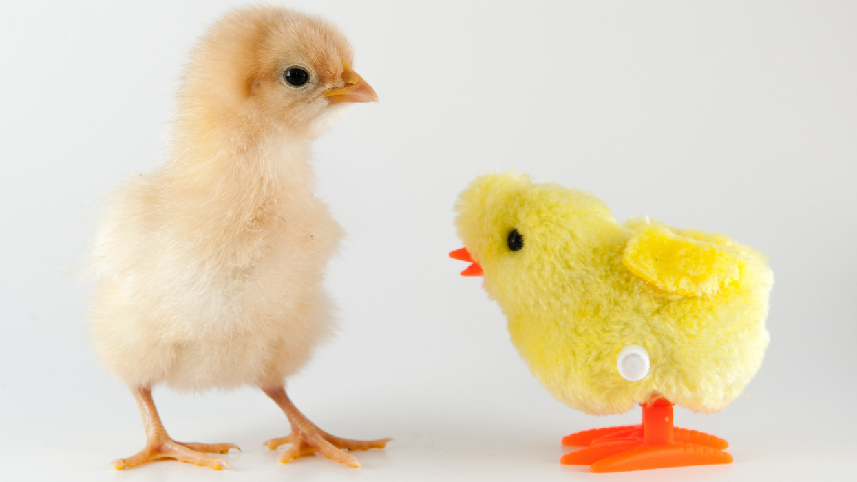 Baby Buff Orpington chicken chick and wind-up toy chick