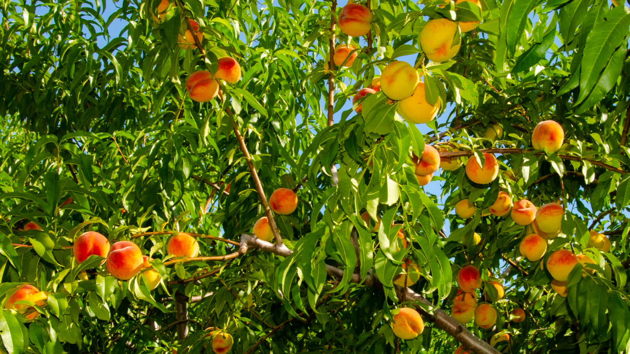 Branches Full of Ripe Peaches ready for picking in an orchard.