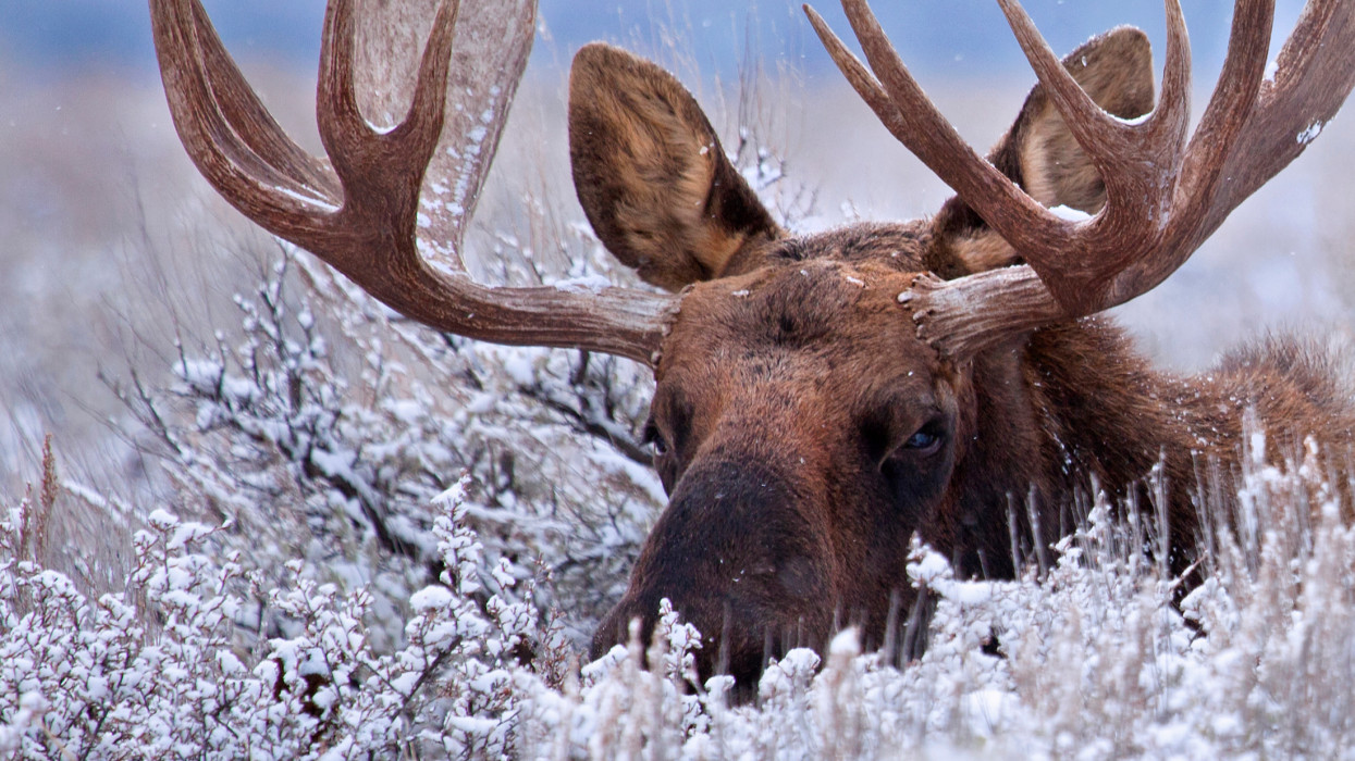 A bull moose hides in the low lying sage brush of Grand Teton National Park, Wyoming.