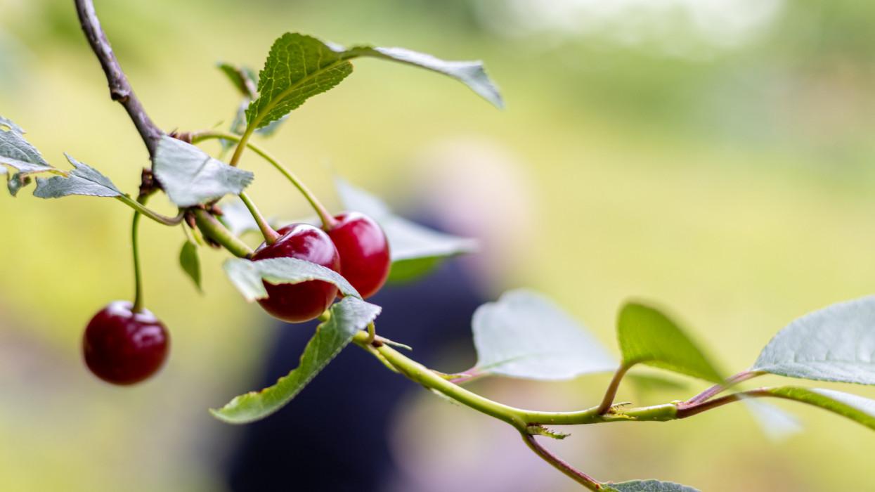 Cherry harvest in the garden, Hungary