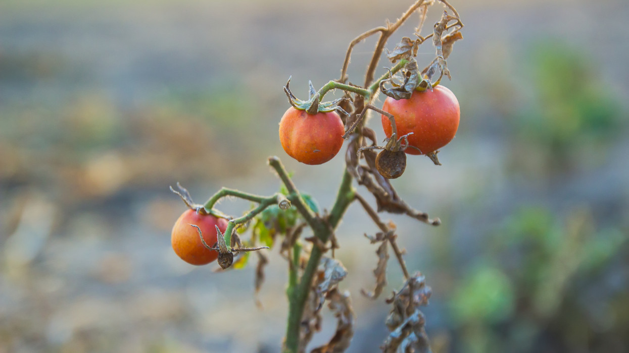 bunch of three cherry tomatoes on farm at evening