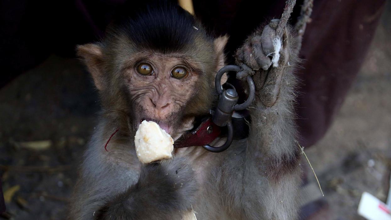 Karacsi, 2017. október 19.Jégkrémet eszik egy majom egy utcai elõadás elõtt a dél-pakisztáni Karacsiban 2017. október 19-én. (MTI/EPA/Sahzaib Akber)