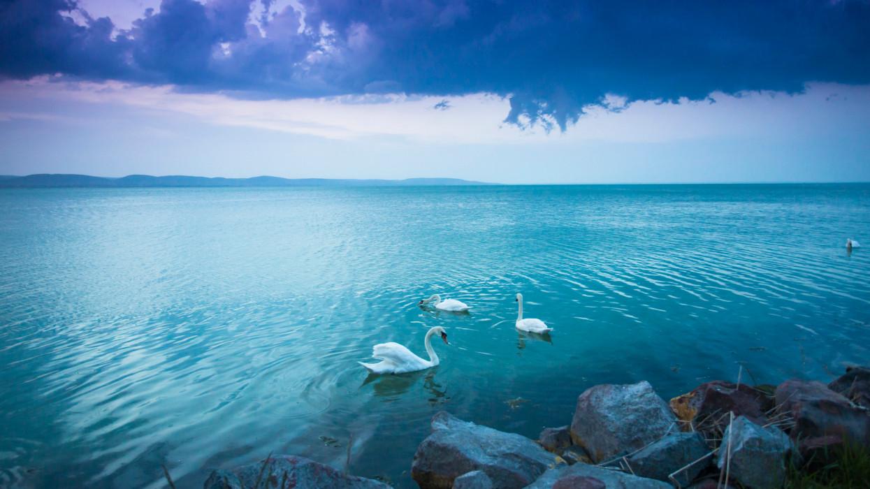 Swans swim along the shore at Lake Balaton.