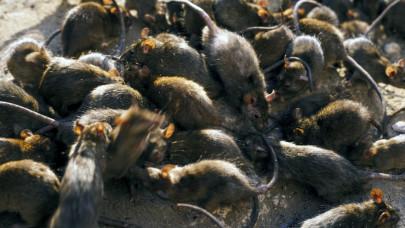 Ez az igazi csapás az emberek pénztárcájára: patkány, parlagfű, parazita kerül milliárdokba Európában