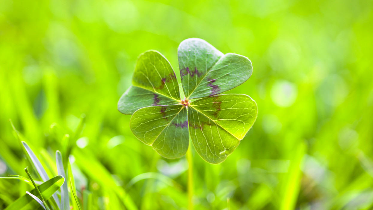 Four leaf clover on grass. Horizontal picture.