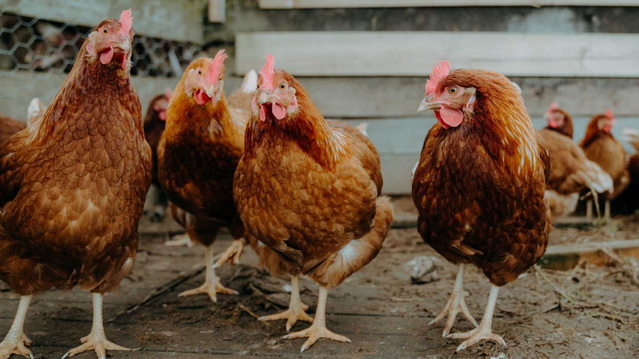 A lot of free-range chicken running and feeding on a big farm in New Zealand. Lots of happy chickens feeding and laying eggs. Pictures were taken during sunny midday with chickens out for a feed. They are not afraid of people Very healthy looking hens.