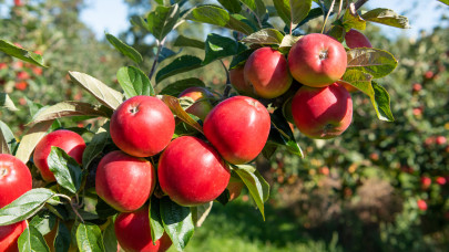 Veszélyben az ősz slágergyümölcse: inkább kerüld a lengyel almát a piacokon