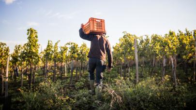 Válságban az egyik legnevesebb magyar borrégió: ettől szenvednek most a gazdák