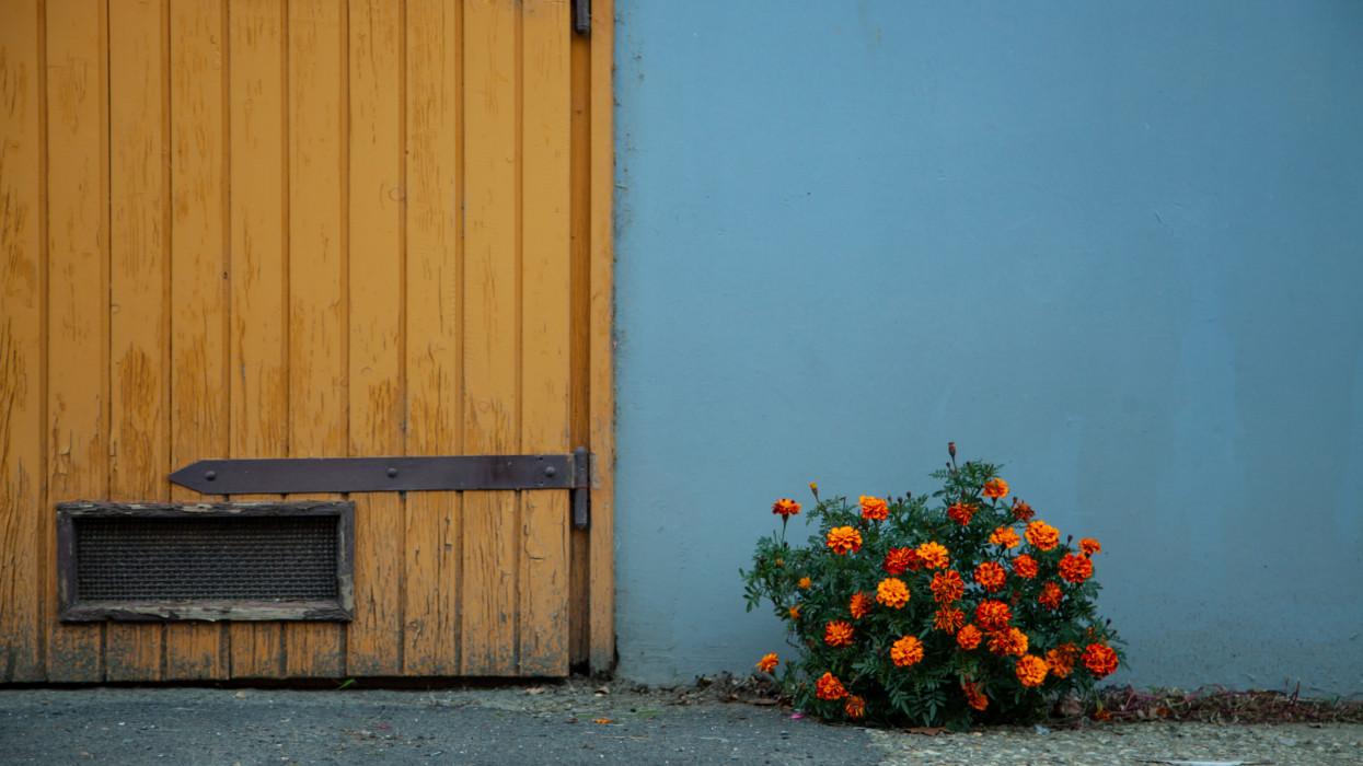 A marigold bush next to a garage isn Budapest, HUngary.